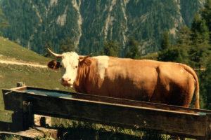 Kuh auf der Gütenbergalm